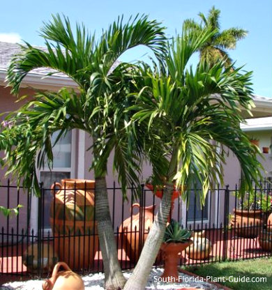 double trunk adonidia palm