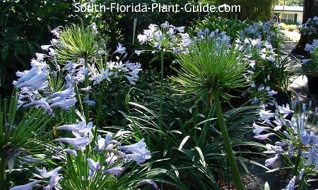 Multiple plants in bloom