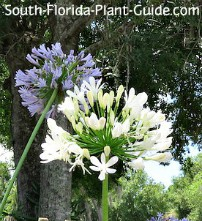 White agapanthus flower