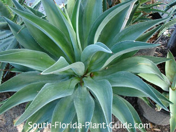 Thick gray-green agave foliage