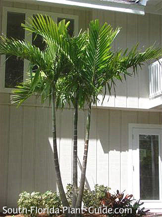 Triple-trunk alexander palm by two-story house