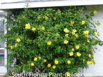 Allamanda vine on a wall