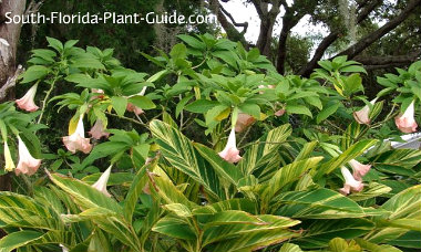 angel's trumpet flowers cascading over variegated ginger