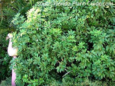 Green arboricola