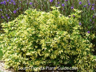 Variegated arboricola for Best landscaping plants and bushes