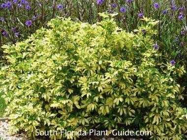 variegated arboricola