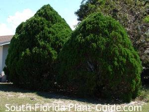 pair of arborvitae trees
