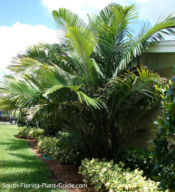 Arenga palm growing next to house