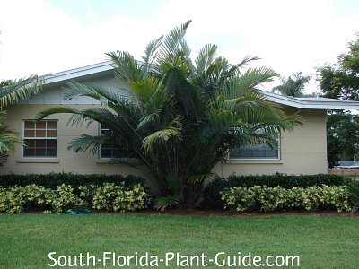 Large palm by house