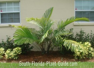 young arenga palm by the side of a house
