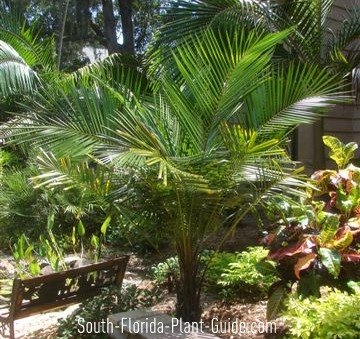 Young arikury palm in courtyard garden