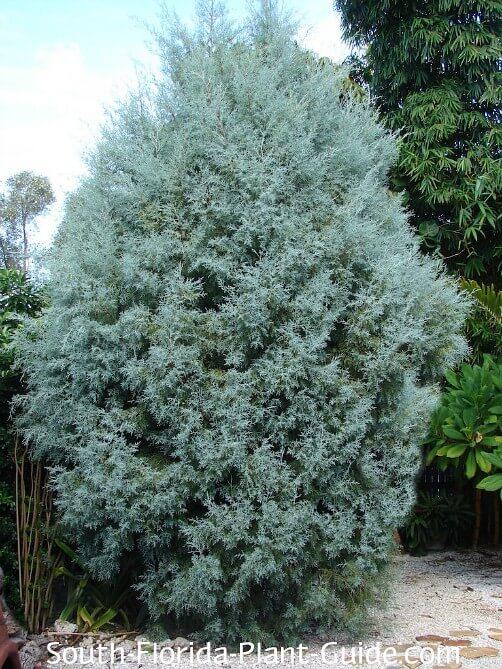 Arizona Cypress Tree