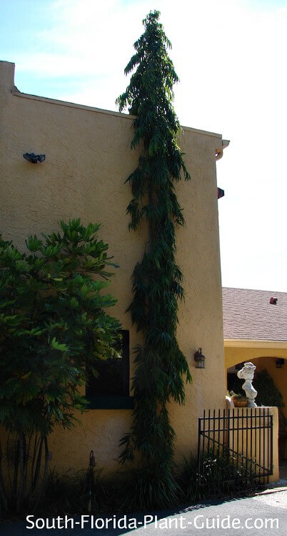 False ashoka tree by house