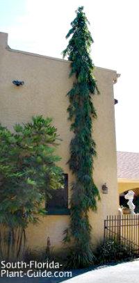 False ashoka tree next to a large home