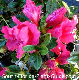 Dwarf azalea 'Red Ruffle' flowers