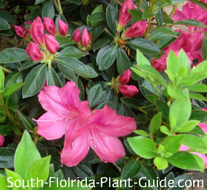 'Southern Charm' flowers