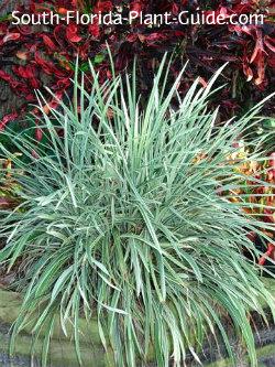 Grass Like Plants Liriope Mondo Grass And Aztec Grass