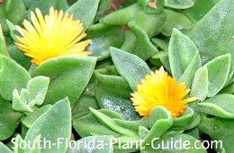 Yellow flowering variety