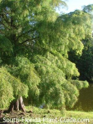 Bald cypress tree by a pond