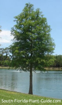 young bald cypress tree by a pond