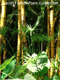Alphonse Karr bamboo with papyrus and elephant ears