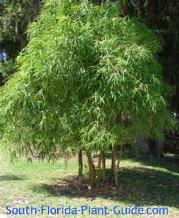 Wamin 'Dwarf Buddha Belly' bamboo