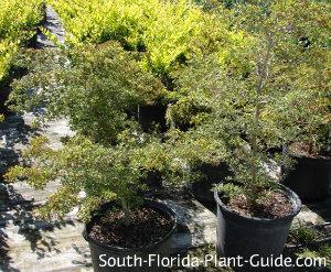 dwarf black olive trees at nursery