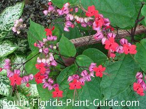 Red flowering variety