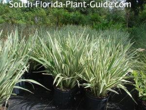 Bushy 3-gallon plants at a nursery