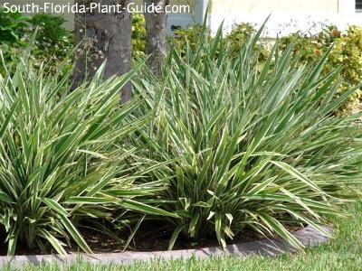 Blueberry flax lily plants around palms