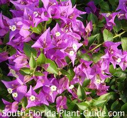 Purple flower bracts around tiny white blossoms