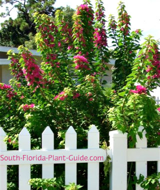 Pixie bush in bloom by a picket fence