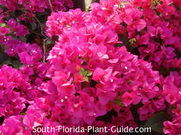 Raspberry Ice bougainvillea's bright pink flowers
