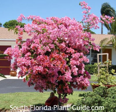 Bright pink bougainvillea tree