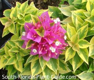 Variegated Pixie leaf and flower detail