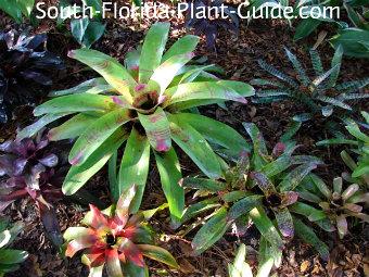 bromeliad garden bed
