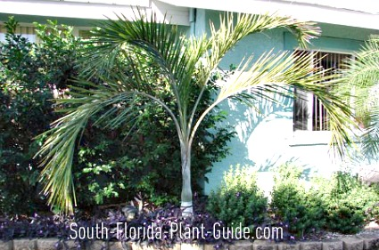Buccaneer palm planted close to house