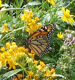 monarch on yellow milkweed - Florida Butterfly Garden