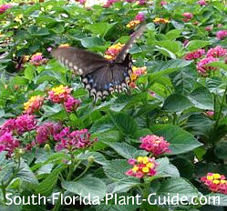 black swallowtail butterfly cruising over lantana ann marie - Florida Butterfly Garden