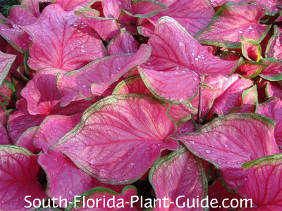 Caladiums come in many colors including  'Florida Sweetheart' with bright pink leaves
