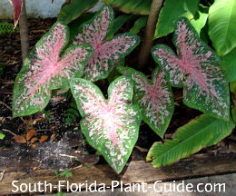 'Florida Calypso' with pink and green foliage