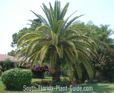 Mature palm in landscape