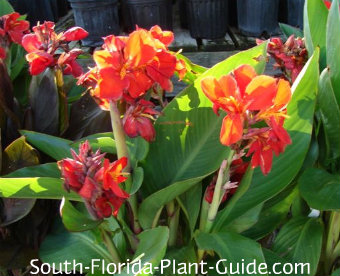 Canna lilies with red-orange flowers