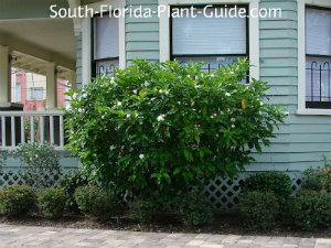 cape jasmine by a house