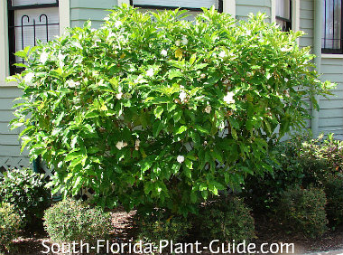 cape jasmine shrub