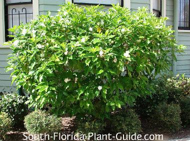 Cape jasmine shrub