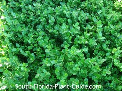 Dwarf variety 'Emerald Blanket'