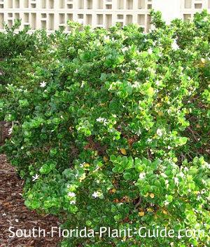 'Natal Plum' variety