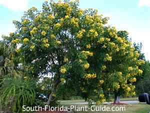 mature cassia surattensis