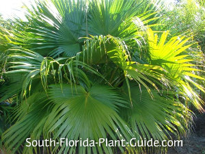 Chinese fan palm close-up